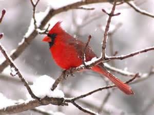 cardinalinwinter