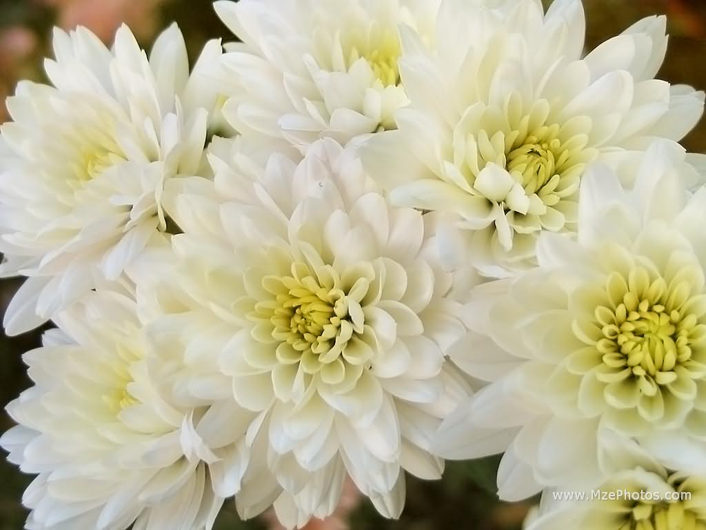 whitechrysanthemum1